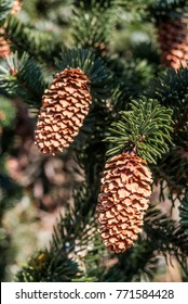 Sitka Spruce (Picea sitchensis) Chowiet Island, Semidi Islands, Alaska, USA