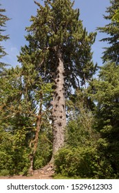 Sitka Spruce, the Quinault Lake Spruce, Lake Quinault Resort, Lake Quinault, Washington, United States. Worlds Largest 1000 year old ancient Spruce Tree, Valley of the Rainforest Giants.