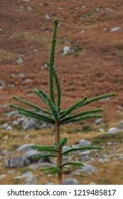 Sitka Spruce Tree on a Heather Background