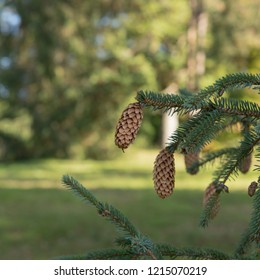 Sitka Spruce Tree (Picea sitchensis) in a Woodland Landscape in Rural West Sussex, England, UK