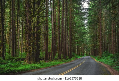 Sitka Spruce and Western Hemlock trees sit quietly next to the road in the green and mossy Hoh Rainforest, part of Olympic National Park in Washington state, USA.
