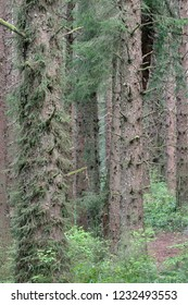 Sitka spurce regrowth, Patrick's Point State Park, California, USA