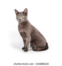 Sits british blue cat on white background