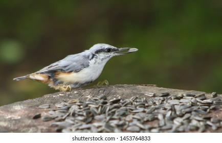 Sitta europaea. Nuthatch eats seeds.
