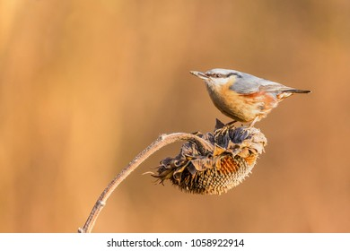 Sitta europaea, Red-breasted nuthatch. A small bird sits on a sunflower plant and feeds sunflower seeds. Flight of the extended wing.  Wildlife scenery, Slovakia, Europe.