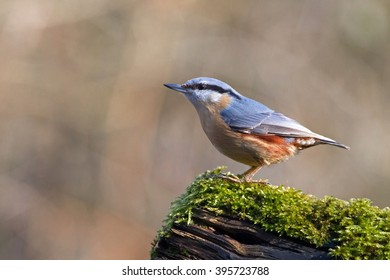 Sitta europaea sits on tree stump in the woods in the morning light, Netherlands
