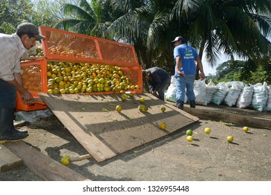 Sittee River Village, Stann Creek District, Belize - February 12, 2019: Freshly harvested oranges being loaded onto a citrus truck to be taken to the local citrus processing plant.