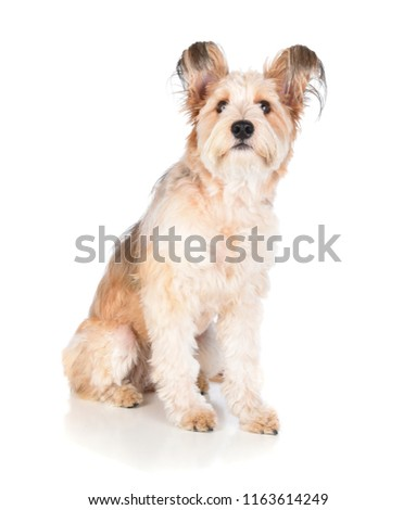 Sitting Alert Mixed Breed Shaggy Dog Stock Photo Edit Now