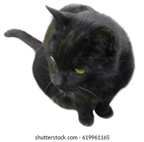 Sitting black cat on a white background