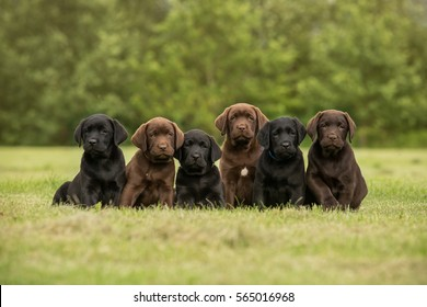Sitting black and chocolate labrador retriever puppies
