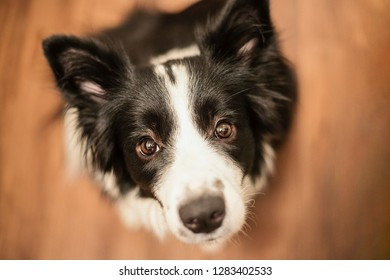 Sitting border collie on parquet in the hause waiting for dainty and caressing.