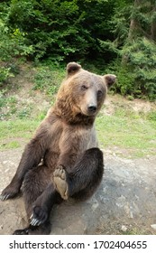Sitting brown bear on the background of the forest.