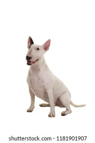 Sitting bull terrier looking up seen from the side isolated on a white background