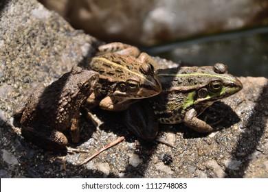 "Sitting by the midday sun. Daruma pond frog - Pelophylax porosus porosus. It is called ""Tokyo Darumagaeru"" in Japan."