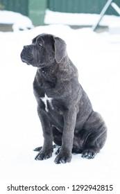 Sitting cane corso portrait dog puppy gray outdoor winter snow