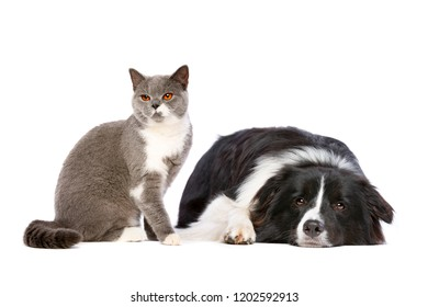 sitting cat and lying dog in front of a white background