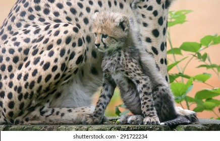 Sitting cheetah cub in front of his mother