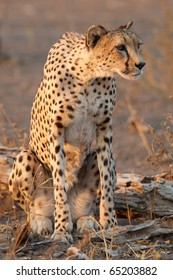 A sitting cheetah mother on the hunt