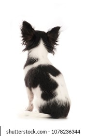 Sitting chihuahua dog from behind isolated on white background
