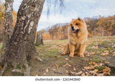 Sitting chow chow dog