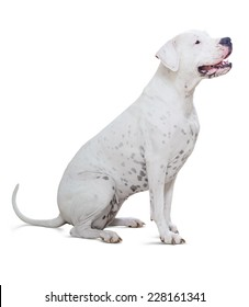 Sitting dogo Argentino on white background