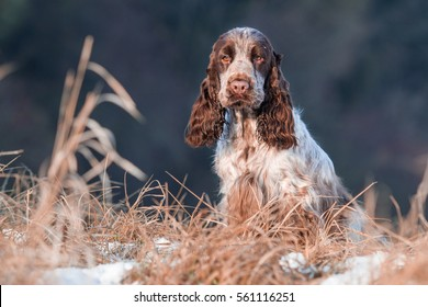 Sitting English cocker spaniel on snow