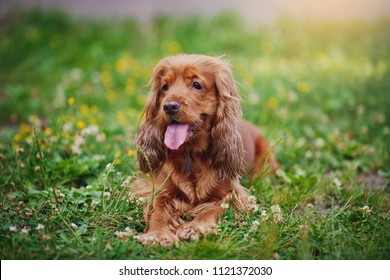 Sitting English cocker spaniel. Summer background.