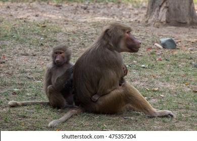 sitting female baboon with cub hamadryad