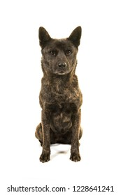 Sitting female Kai Ken dog the national japanese breed isolated on a white background seen from the front