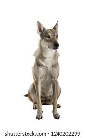 Sitting female tamaskan hybrid dog isolated on white background looking aside