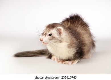 Sitting ferret