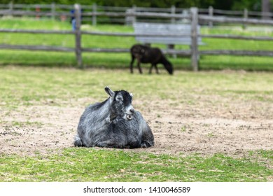 A sitting goat is ruminating.