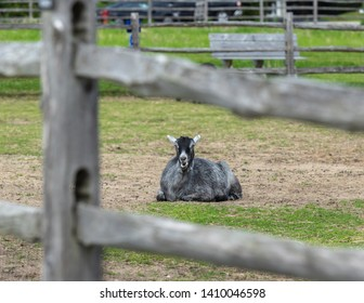 A sitting goat view through a fence is ruminating.