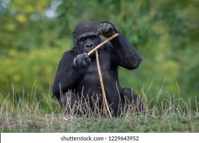 Sitting Gorilla with stick