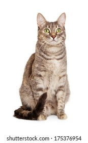 Sitting gray tabby cat looking at camera isolated on white background.