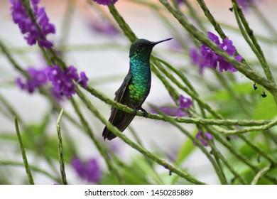 Sitting green and blue hummingbird - Bonaire Island