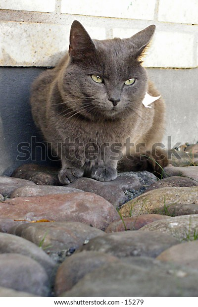 Sitting grey cat