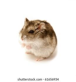 sitting hamster on white
