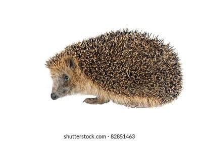 sitting hedgehog on white background