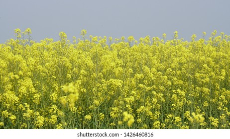 Sitting inside a field of flowering rapeseed (canola) with a beautiful yellow color, it is grown for vegetable oils but can also be used for the production of biodiesel
