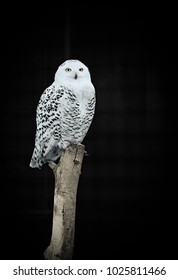 Sitting and isolated snowy owl in front of blurred and black background