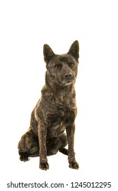 Sitting Kai Ken dog the national japanese breed seen from the front looking at camera isolated on a white background