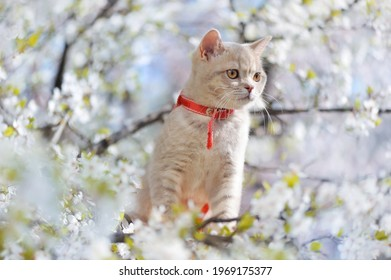 Sitting kitten against blooming cherry tree branches