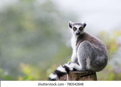 Sitting lemur from Opole zoo.