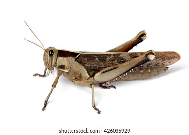 A sitting locust sits ready to jump at any moment.