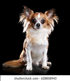 Sitting long haired chihuahua dog isolated on black