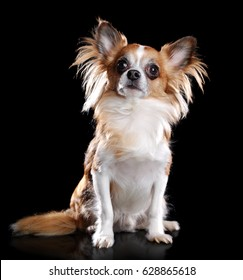 Sitting long haired chihuahua dog isolated on black looking up