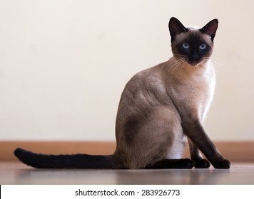 Sitting  and looking Siamese cat on  floor