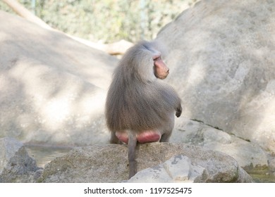 Sitting male baboon from behind