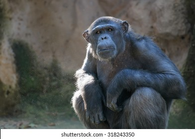 Sitting monkey. Chimpanzee monkey looks at something with extreme attention